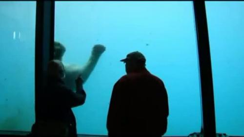 北极熊玩游戏扔石头砸裂玻璃