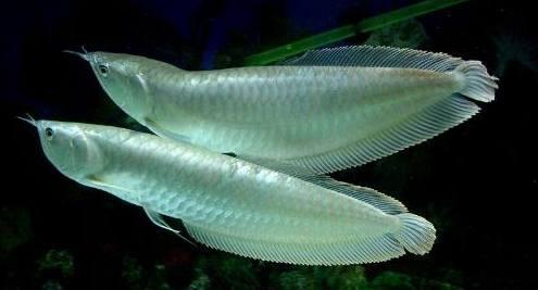 谈谈如何好养银龙鱼